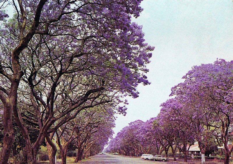 Jacaranda trees blossom in Harare