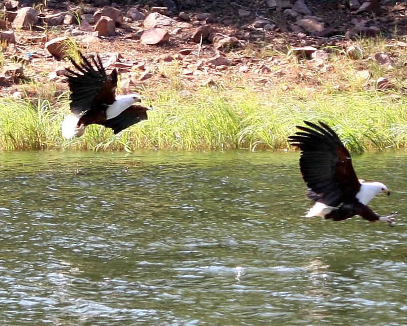 Fish eagles make a swoop on the Zambezi River