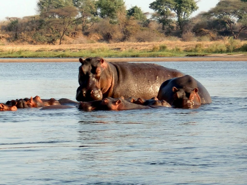 Hippos in the Zambezi River