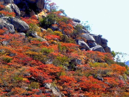 Beautiful colors of the msasa trees in Nyanga